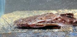 Bunocephalus colombianus