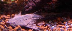 Bunocephalus coracoideus
