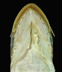 Ageneiosus uranophthalmus