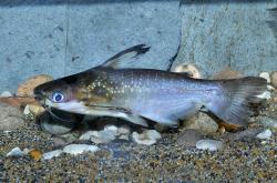 Auchenipterichthys coracoideus - Click for species data page