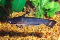 Auchenipterichthys coracoideus
