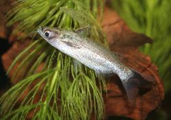 Entomocorus gameroi - Click for species data page