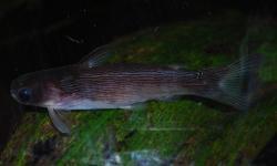 Tatia strigata - Click for species data page