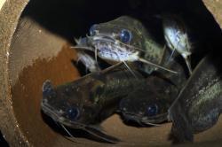 Trachelyichthys exilis