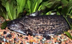 Trachelyopterus sp. (1)