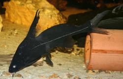 Bagrichthys macracanthus