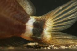 Mystus bimaculatus