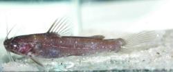 Nanobagrus stellatus
