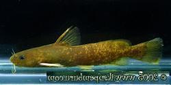 Tachysurus albomarginatus - Click for species data page