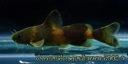 Tachysurus crassilabris