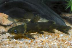 Tachysurus intermedius