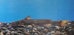 Tachysurus pratti - Click for species data page