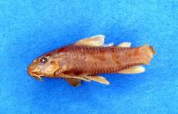 Aspidoras carvalhoi - Click for species page