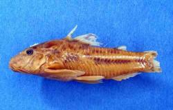 Aspidoras menezesi - Click for species page