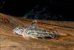 Aspidoras poecilus - Click for species page