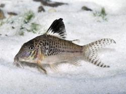 Corydoras(ln1) acutus - Click for species data page