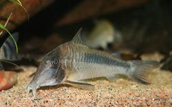Corydoras(ln1) amapaensis - Click for species data page
