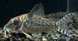 Corydoras(ln1) blochi - Click for species data page