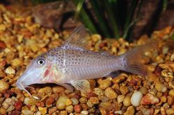 Corydoras(ln1) cervinus - Click for species data page