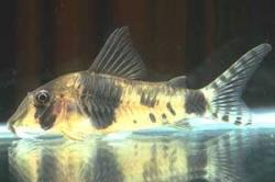 Corydoras(ln1) desana - Click for species data page