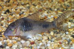 Corydoras(ln1) ellisae - Click for species data page