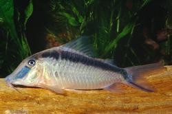 Corydoras(ln1) narcissus - Click for species data page