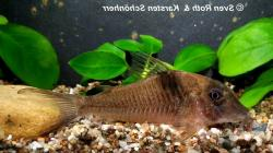 Corydoras(ln1) saramaccensis - Click for species data page