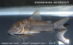 Corydoras(ln1) sarareensis - Click for species data page