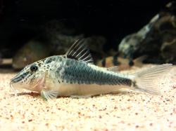Corydoras(ln1) semiaquilus - Click for species data page
