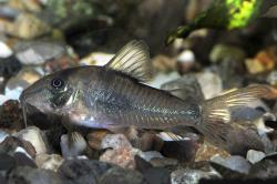 Corydoras(ln1) septentrionalis - Click for species data page