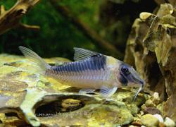 Corydoras(ln1) serratus - Click for species data page
