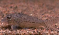 Corydoras(ln1) sp. (C024) - Click for species data page