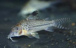 Corydoras(ln1) sp. (C042) - Click for species data page
