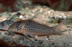 Corydoras(ln1) sp. (C047) - Click for species data page