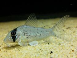 Corydoras(ln1) sp. (C053) - Click for species data page