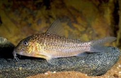 Corydoras(ln1) sp. (C094) - Click for species data page