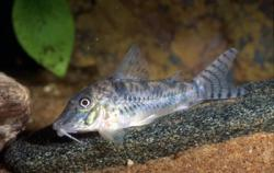 Corydoras(ln1) sp. (C099) - Click for species data page