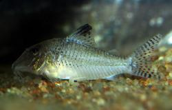 Corydoras(ln1) sp. (C109) - Click for species data page