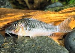 Corydoras(ln1) sp. (C127) - Click for species data page