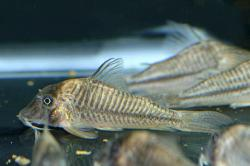 Corydoras(ln1) sp. (C145) - Click for species data page