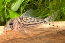 Corydoras(ln1) sp. (C155) - Click for species data page