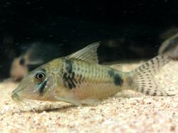 Corydoras(ln1) sp. (Cw012) - Click for species data page