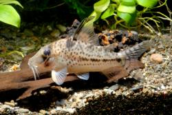 Corydoras(ln1) sp. (Cw055) - Click for species data page