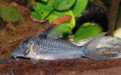 Corydoras(ln1) sp. (Cw059) - Click for species data page
