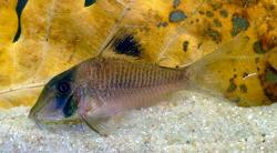 Corydoras(ln1) sp. (Cw121) - Click for species data page
