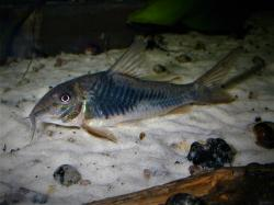 Corydoras(ln1) sp. (Cw124) - Click for species data page