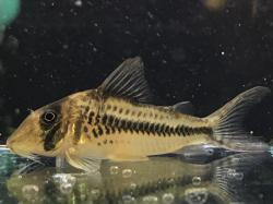 Corydoras(ln1) sp. (Cw149) - Click for species data page