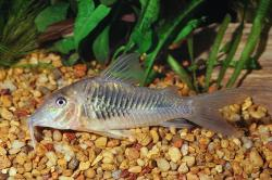 Corydoras(ln1) stenocephalus - Click for species data page