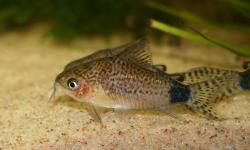 Corydoras(ln4) guapore - Click for species data page