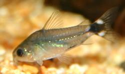 Corydoras(ln4) hastatus - Click for species data page